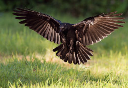 Incoming carrion crow