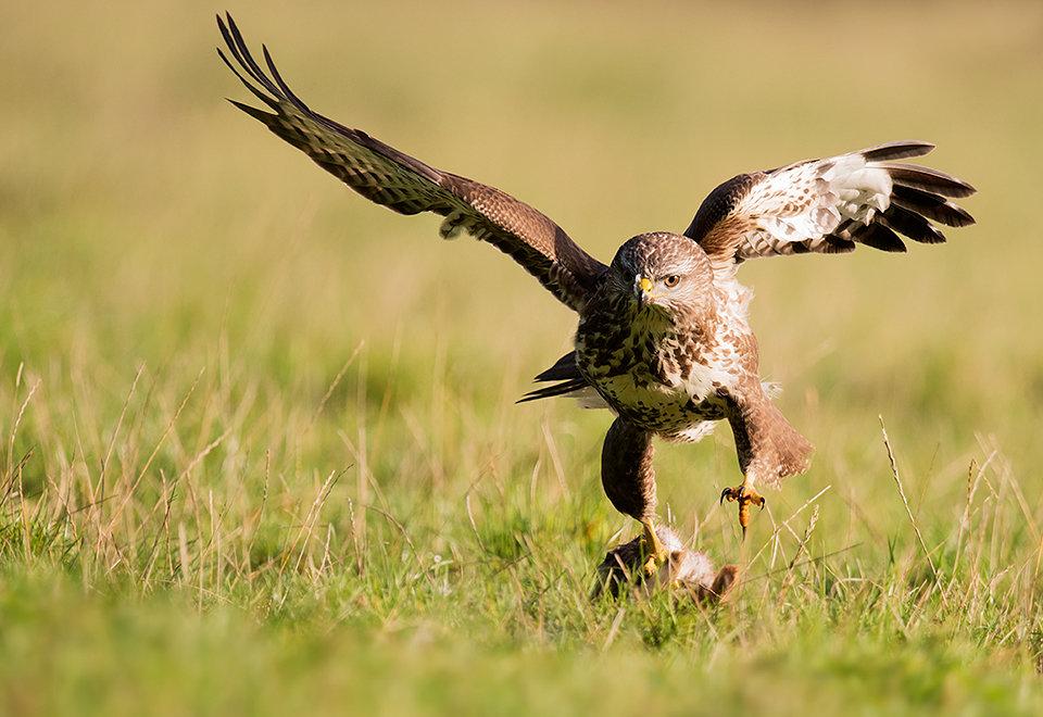 Buzzard with prey