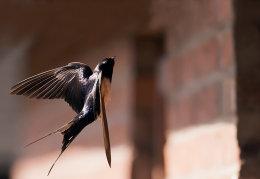 Swallow flying upto nest