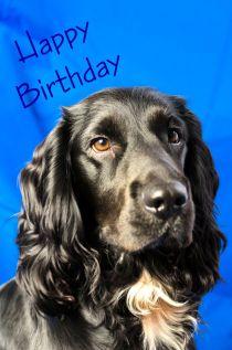 Black Spaniel birthday card