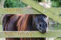 Shetland Pony Birthday  card