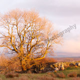Ribblehead Tree