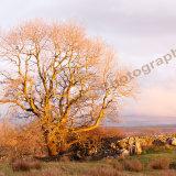 Ribblehead Tree