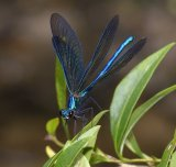 Male Calopteryx virgo  - 'wing-flicking'