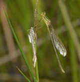 immature male Lestes barbarus with exuvia