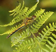 female Sympetrum danae