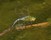 blue female Anax imperator laying eggs