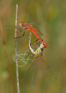 male and female Sympetrum fonscolombii