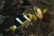 Clark's Anemonefish   Amphiprion clarkii