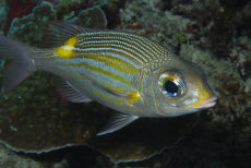 Gold-spot Emperor  Gnathodentex aurolineatus