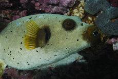 Black-spotted Pufferfish  Arothron nigropunctatus