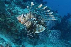 Common Lionfish  Pterois volitans