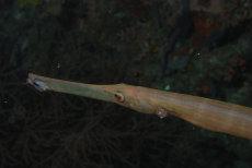 Trumpetfish  Aulostomus chinensis