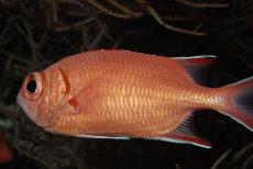 Immaculate Soldierfish  Myripristis vittata