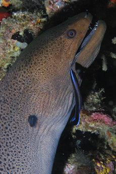 Giant Moray  Gymnothorax javanicus