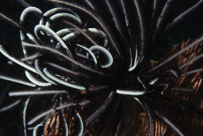 Feather-star  crinoid
