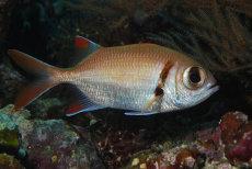 Epaulette Soldierfish  Myripristis kuntee