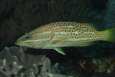White-lined Grouper  Anyperodon leucogrammicus
