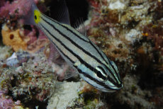 Five-line Cardinalfish  Cheilodipterus quinquelineatus