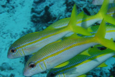 Yellow-striped Goatfish  Mulloidichthys vanicolensis