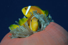 Blackfoot Anemonefish  Amphiprion nigripes