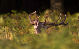 Rutting Stag