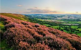 Heather in Bloom on the Long Mynd