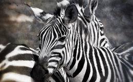 Amboseli Zebras