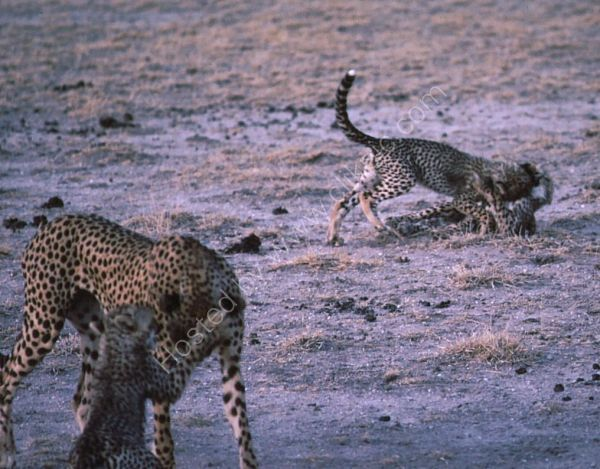 Cheetah Playing with Cubs