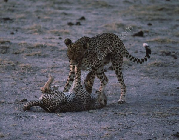 Cheetah Playing with Cub