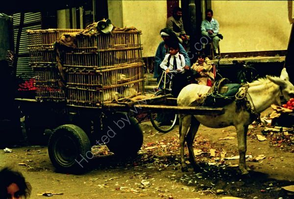 Live Chicken Seller, Cairo