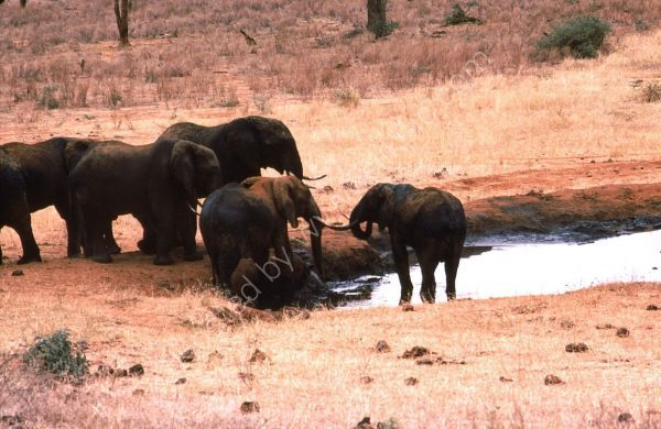 Herd of Elephants at Water Hole, Treetops Hotel