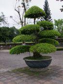 Bonsai Tree, Kinh Thanh (Citadel), Hue