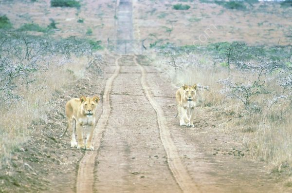 Lions, Solio Ranch