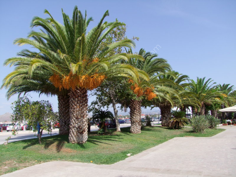 Date Palms on Sea Front, Nauplia
