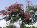 Flowering Tree, Syracusa