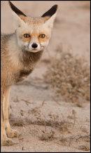 Desert Fox.