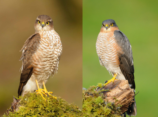 Male and Female Sparrowhawk side by side (Composite Image) on the same perch for comparison.