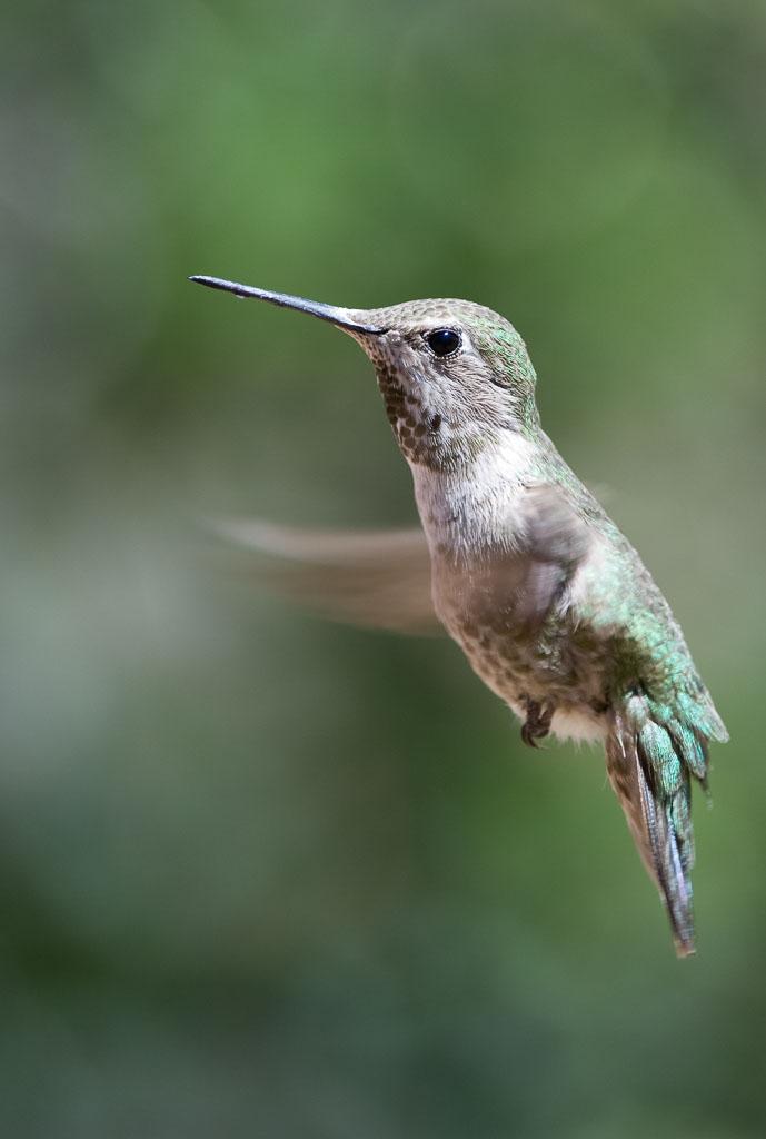 Anna's Hummingbird female in flight