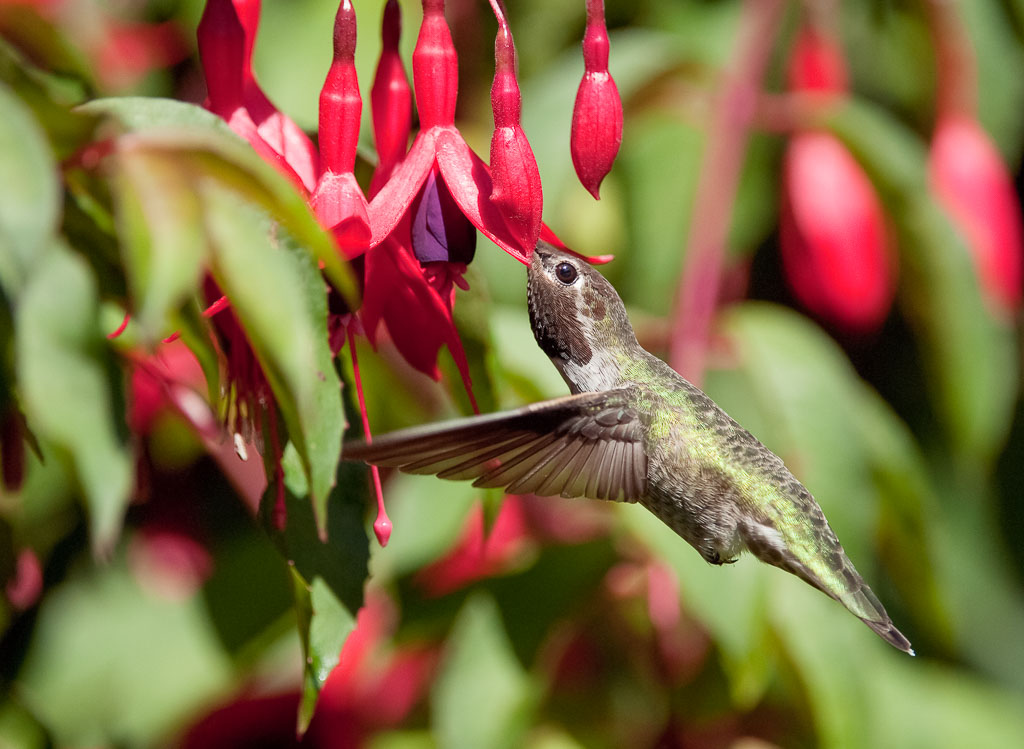 Anna's Hummingbird in fuchia