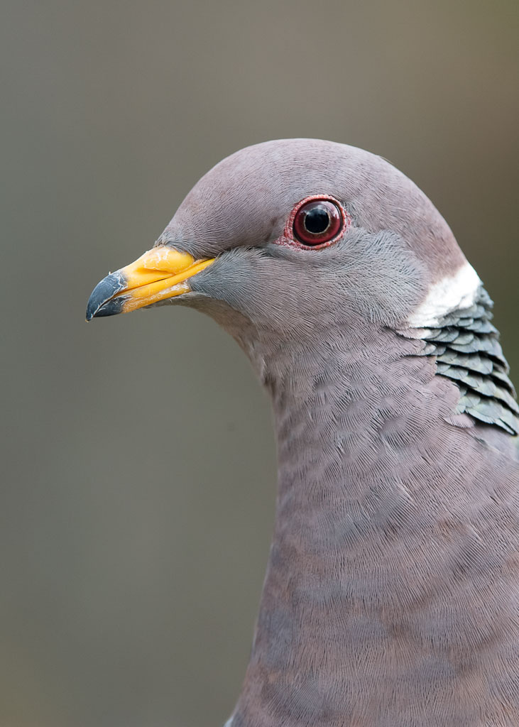 Band-tailed Pigeon portrait