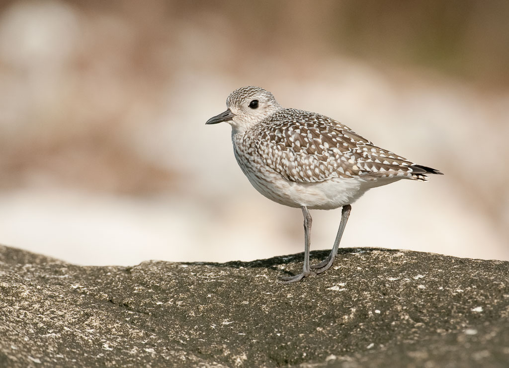 Black-bellied Plover winter