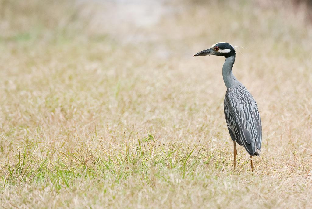 Black-crowned Heron in field