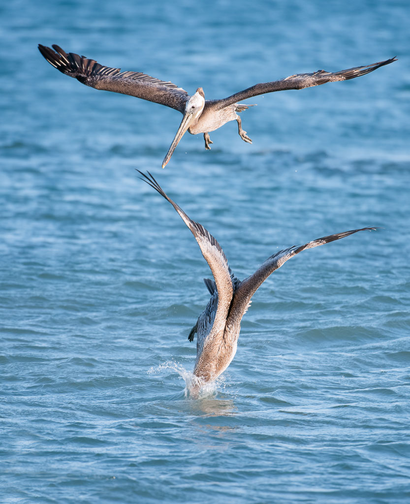 Brown Pelican two fishing