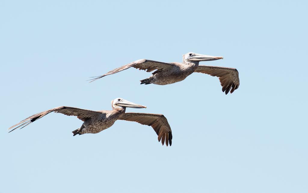 Brown Pelicans two in flight