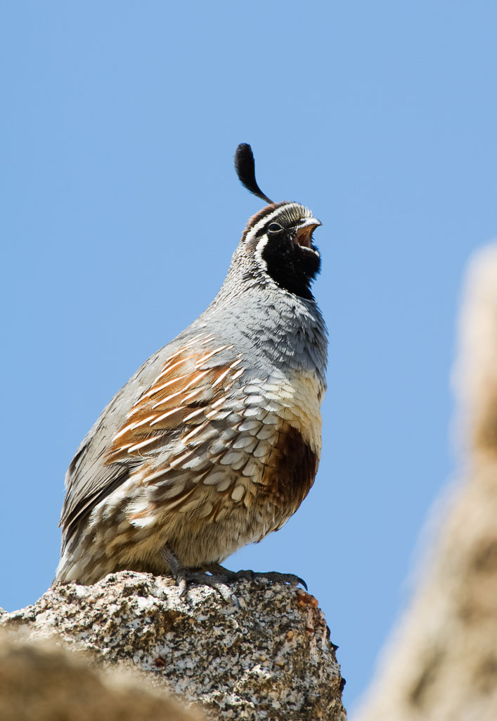 California Quail calling from lookout