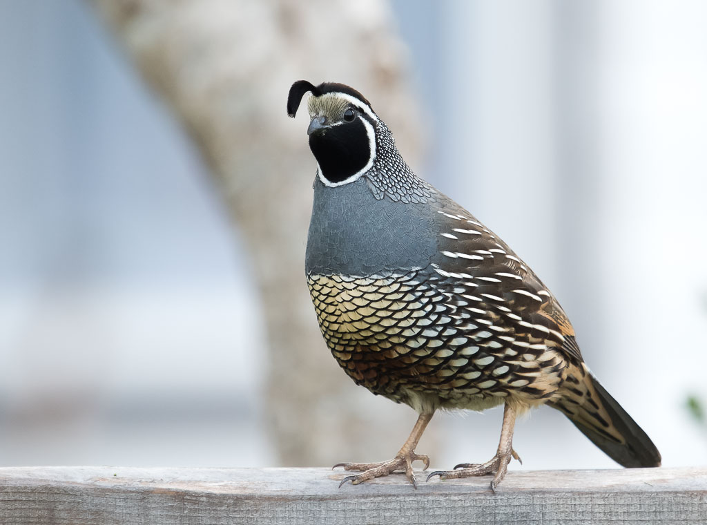 California Quail on fence