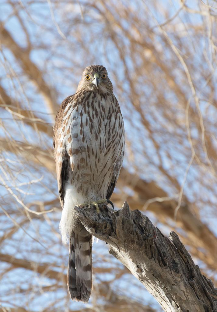 Coopers Hawk juvenile in smoke tree-2