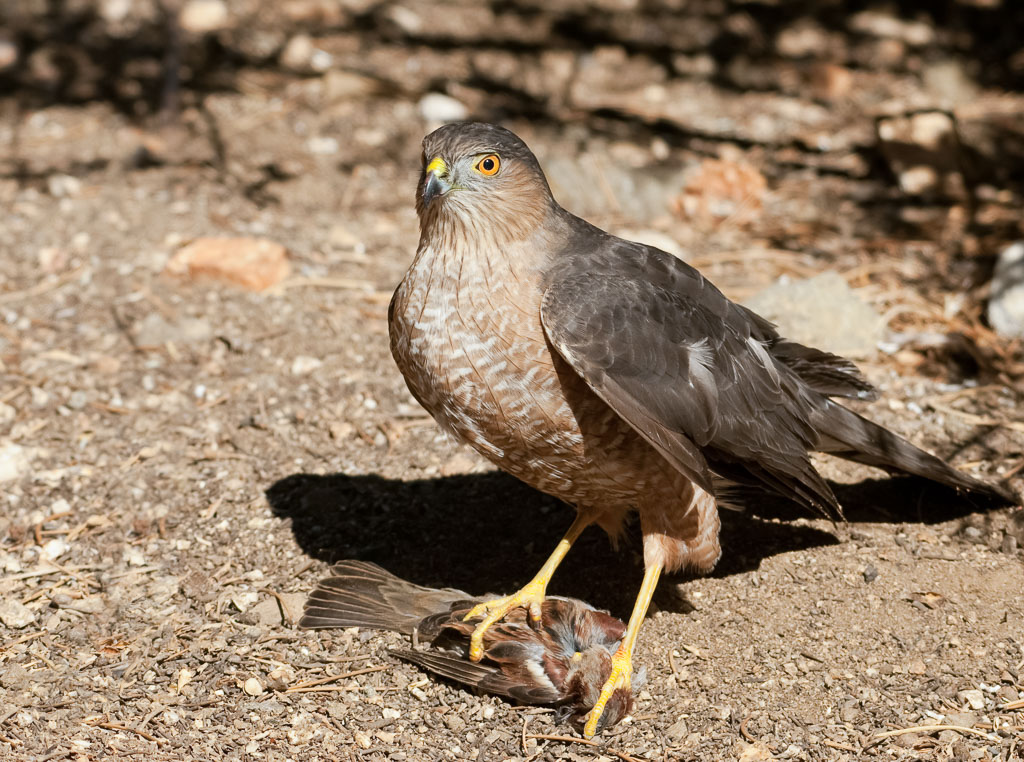 Coopers Hawk with European Sparrow