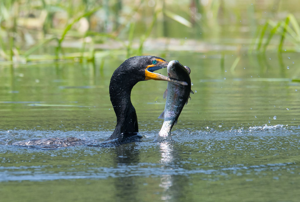 Cormorant with trout